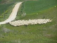 gregge in movimento - Baglio Arcudaci - 1 aprile 2012  - Bruca (479 clic)