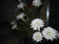 fiori di cactus - 10 settembre 2012  - Alcamo (204 clic)