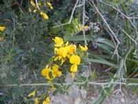 Cala Bianca - ginestra - 14 aprile 2012  - Castellammare del golfo (538 clic)