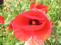 papaveri - 1 maggio 2012  - Alcamo (368 clic)