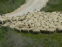 gregge in movimento - Baglio Arcudaci - 1 aprile 2012  - Bruca (436 clic)