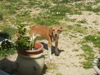 cagnolino - Baglio Arcudaci - 1 aprile 2012  - Bruca (505 clic)
