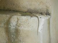 SIRIGNANO - lucertola - 1 maggio 2012  - Monreale (875 clic)