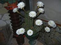 fiori di cactus - 10 settembre 2012  - Alcamo (184 clic)