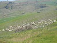 gregge al pascolo - 1 aprile 2012  - Bruca (470 clic)