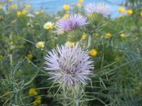 Cala Bianca - flora  - 14 aprile 2012  - Castellammare del golfo (942 clic)