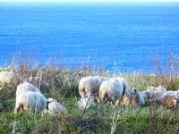 gregge e mare - 14 aprile 2012  - Scopello (976 clic)