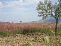 campo di sulla e Monte Bonifato - 1 maggio 2012  - Calatafimi segesta (587 clic)