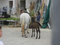 cavallo e puledro - PURGATORIO - preparativi della sfilata di cavalli - festa San Giuseppe Lavoratore a SPERONE - 29 aprile 2012  - Custonaci (485 clic)