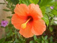 fiore di ibisco fiore di ibisco arancione bagnato dalla pioggia - 25 luglio 2012  - Alcamo (271 clic)