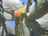 fiori di ficodindia - Baglio Arcudaci - 27 maggio 2012  - Bruca (293 clic)