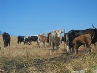 bovini al pascolo - 15 agosto 2012  - Buseto palizzolo (438 clic)