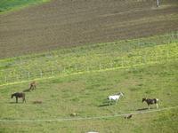 cavalli e puledri in libertà - Baglio Arcudaci - 1 aprile 2012  - Bruca (618 clic)