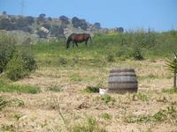 cavallo in libertà - Baglio Arcudaci - 1 aprile 2012  - Bruca (470 clic)