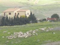 panorama agreste e gregge - 12 febbraio 2012  - Buseto palizzolo (469 clic)