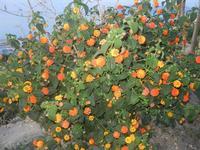 Zona Plaja - cespuglio fiorito - 1 giugno 2012  - Alcamo marina (295 clic)