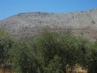 uliveto e monti - 18 agosto 2012  - Castelluzzo (679 clic)