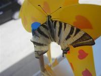 Zona Plaja - farfalla su girandola - 29 luglio 2012  - Alcamo marina (305 clic)