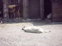 BIOPARCO di Sicilia - zoo - 17 luglio 2012 - Foto di Nicolò Pecoraro  - Villagrazia di carini (322 clic)