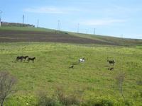 cavalli e puledri in libertà - Baglio Arcudaci - 1 aprile 2012  - Bruca (731 clic)
