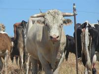 bovini al pascolo - 15 agosto 2012  - Buseto palizzolo (379 clic)