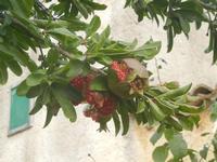 Contrada MATAROCCO - melagrane - 5 agosto 2012  - Marsala (388 clic)