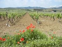 papaveri e vigneto - 1 maggio 2012  - Alcamo (401 clic)