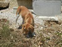 cagnolino - Baglio Arcudaci - 27 maggio 2012  - Bruca (274 clic)