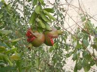 Contrada MATAROCCO - melagrane - 5 agosto 2012  - Marsala (804 clic)