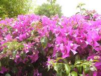 buganvillea e farfalla - 9 giugno 2012  - Alcamo (248 clic)