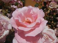 rose - Baglio Arcudaci - 27 maggio 2012  - Bruca (322 clic)
