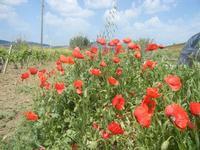 papaveri - 1 maggio 2012  - Alcamo (391 clic)