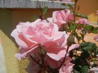 rose - Baglio Arcudaci - 27 maggio 2012  - Bruca (284 clic)
