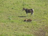 cavallo e puledro in libertà - Baglio Arcudaci - 1 aprile 2012  - Bruca (687 clic)