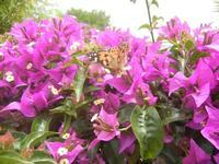 buganvillea e farfalla - 9 giugno 2012  - Alcamo (262 clic)