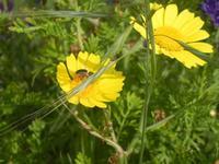 margherite gialle - 3 aprile 2012  - Castellammare del golfo (433 clic)