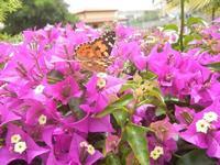 buganvillea e farfalla - 9 giugno 2012  - Alcamo (779 clic)