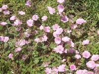 fiori - Baglio Arcudaci - 27 maggio 2012  - Bruca (329 clic)