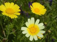margherite gialle - 3 aprile 2012  - Castellammare del golfo (427 clic)