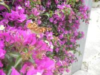 buganvillea e farfalla - 9 giugno 2012  - Alcamo (218 clic)