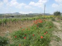 papaveri e vigneto - 1 maggio 2012  - Alcamo (441 clic)