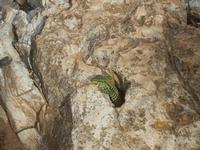 lucertola - R.N.O. Capo Rama - 15 aprile 2012  - Terrasini (640 clic)