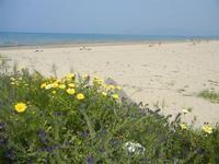 Spiaggia Plaja - panorama con margherite e fiori viola - 3 aprile 2012  - Castellammare del golfo (322 clic)