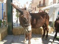 asini in Piazza Ciullo - 2 giugno 2012  - Alcamo (315 clic)