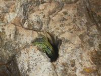 lucertola - R.N.O. Capo Rama - 15 aprile 2012  - Terrasini (785 clic)