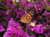buganvillea e farfalla - 9 giugno 2012  - Alcamo (255 clic)