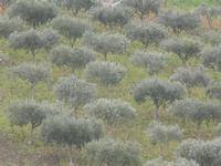 oliveto - 22 gennaio 2012  - Buseto palizzolo (484 clic)