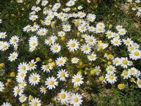 margherite bianche - Baglio Arcudaci - 1 aprile 2012  - Bruca (696 clic)