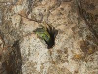 lucertola - R.N.O. Capo Rama - 15 aprile 2012  - Terrasini (806 clic)