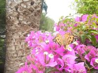 buganvillea e farfalla - 9 giugno 2012  - Alcamo (285 clic)